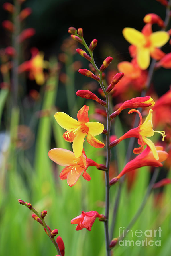 Flower Photograph - Crocosmia Harlequin Flower by Tim Gainey