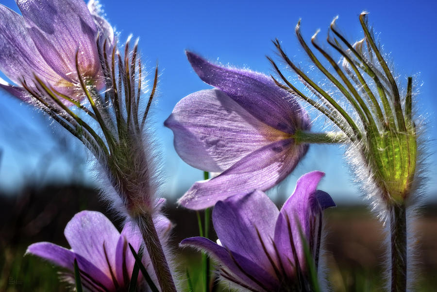 Crocus Confluence - Praire Crocus / Pasque Flower in southern Wisconsin prairie by Peter Herman