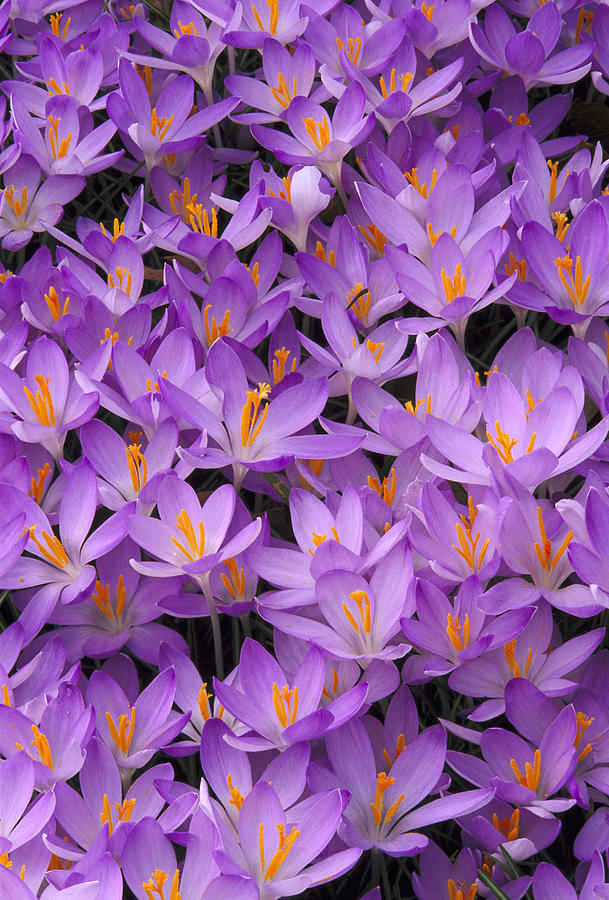Crocus, Crocus Sp, Pattern In Flowers Photograph by Adam Jones