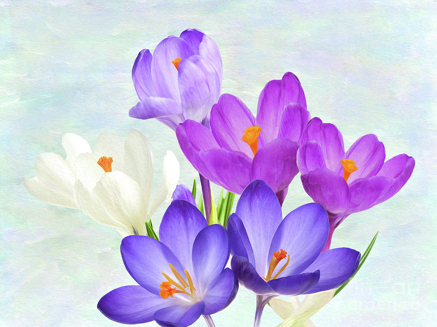 Crocus Flowers Photograph By Laura D Young
