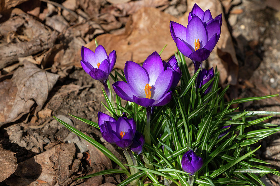 Crocus Photograph - Crocus In Spring 2019 I by Jeff Severson
