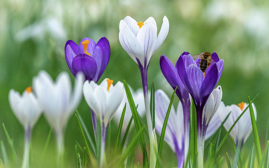 Crocuses by Framing Places
