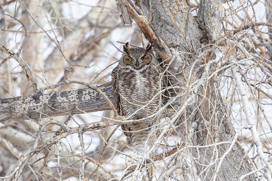 Cross Eyed Great Horned Owl Photograph