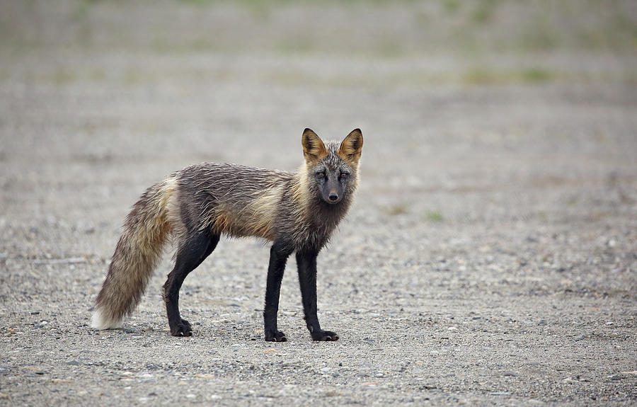 Cross Fox in Alaska by Jean Clark