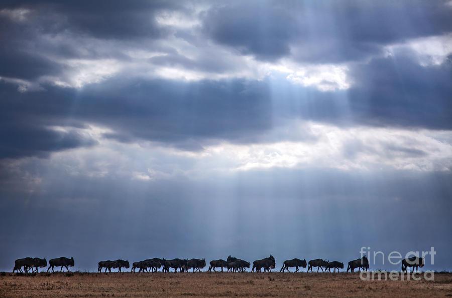 Beam Photograph - Crossing Wildebeest by 2630ben