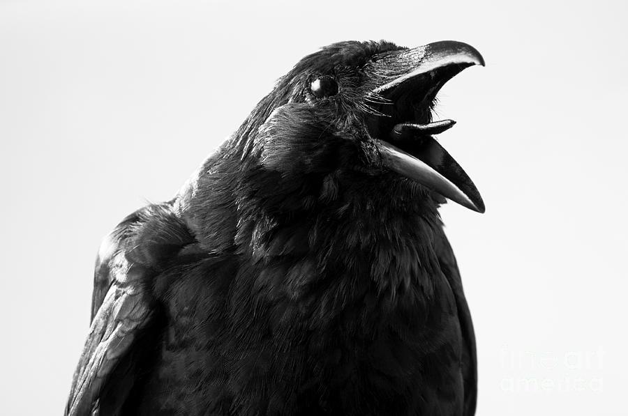 Studio Photograph - Crow In Studio by Redpip1984