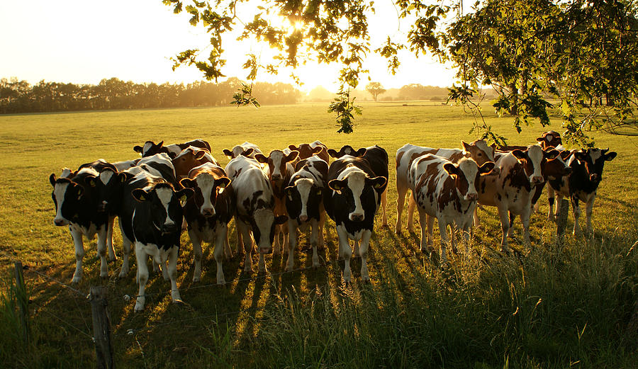 Crowded Cows Photograph by Bob Van Den Berg Photography