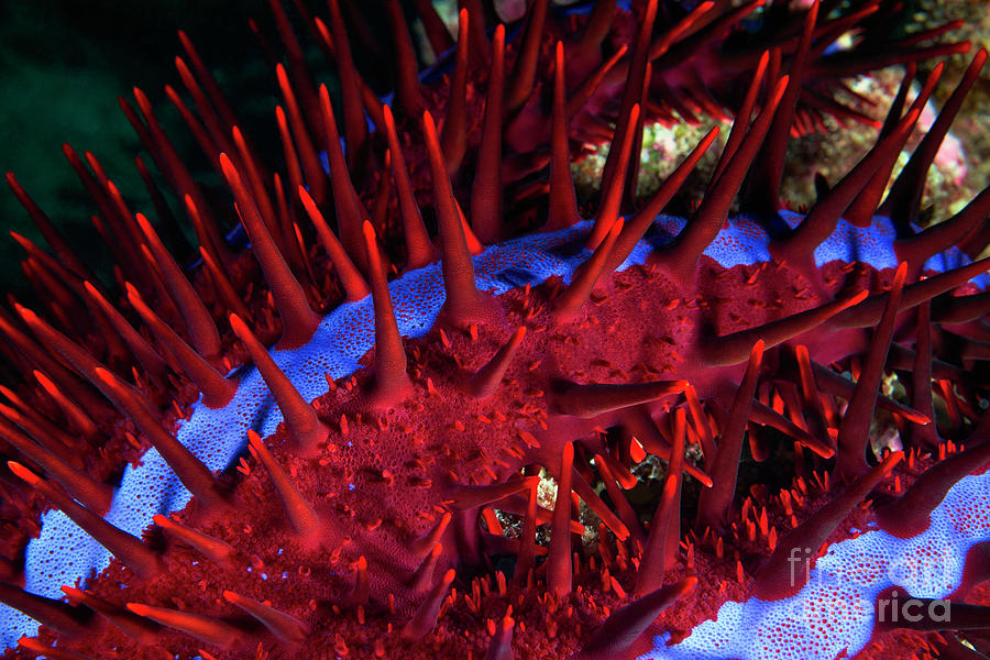 Crown-of-thorns Starfish Photograph - Crown-of-thorns Starfish by Alexander Semenov/science Photo Library