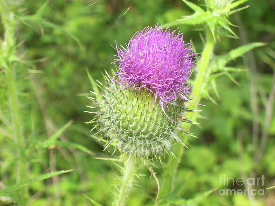 Thistle Photograph - Crown Thistle by Mary Mikawoz