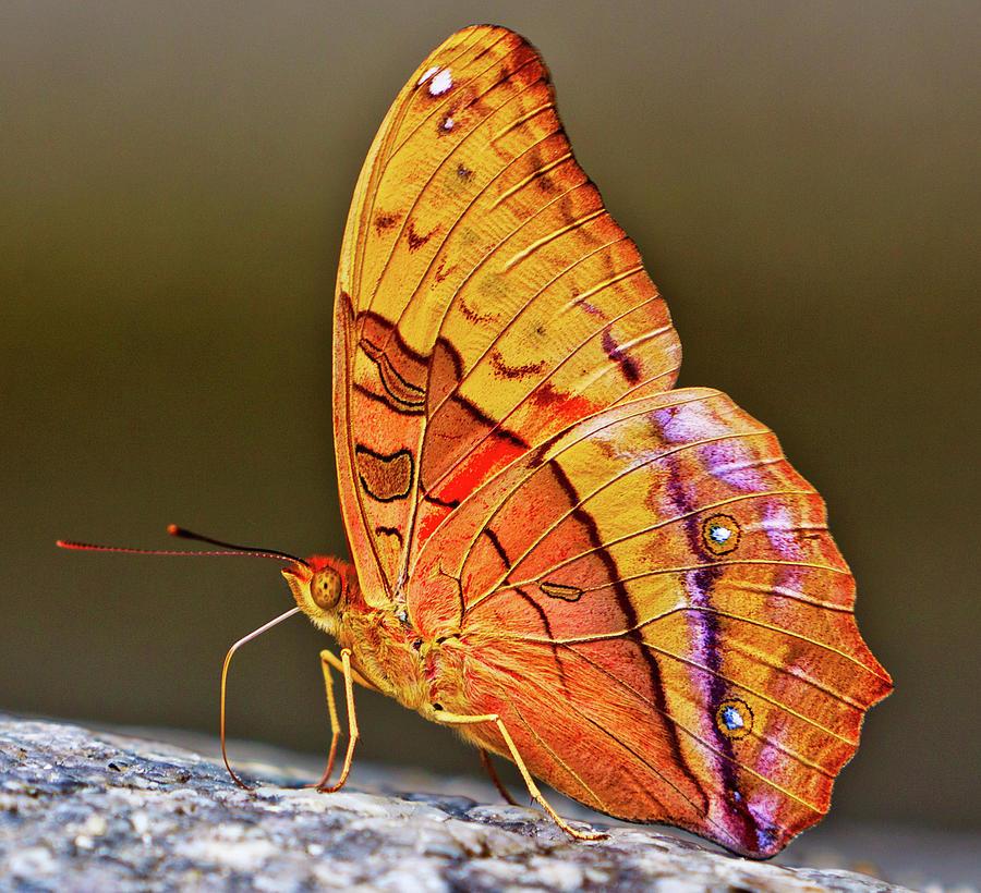 Cruiser Butterfly - Vindula Arsinoe Photograph