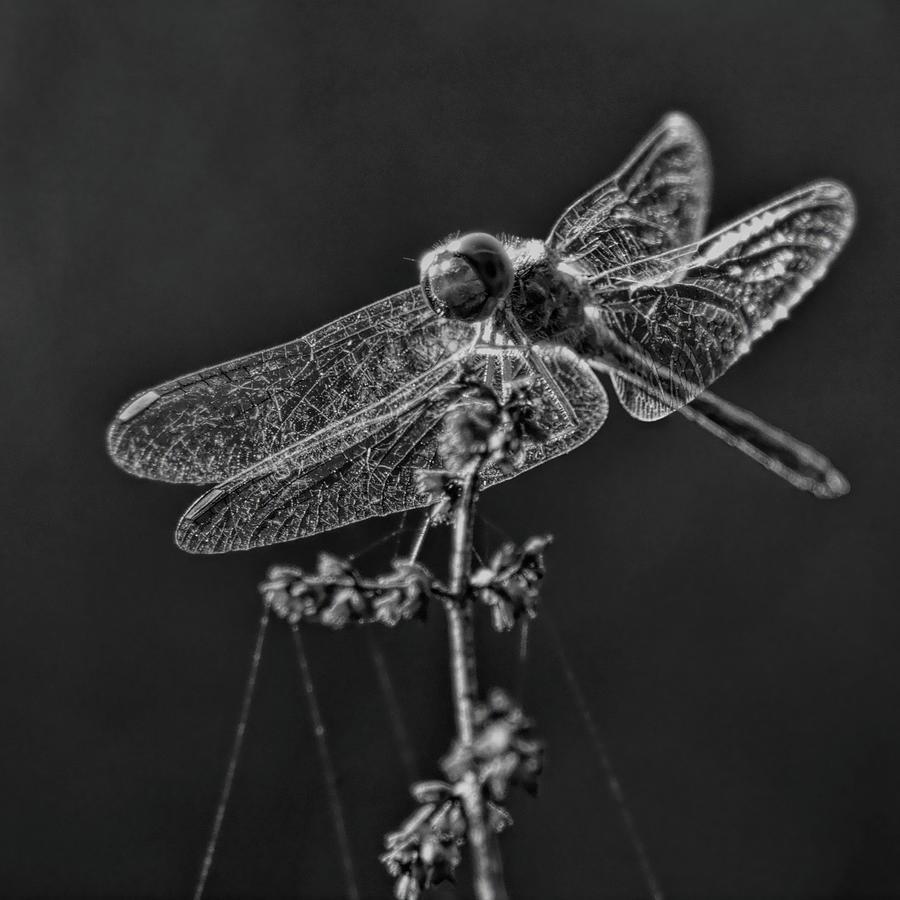 Crystal Meadowhawk by Dale Kauzlaric