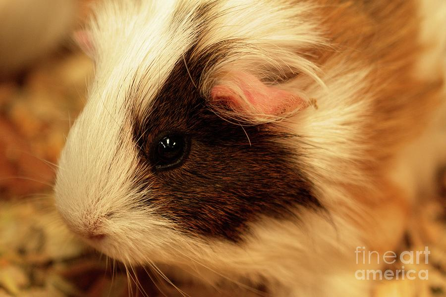 Cuddlepot - Fluffy and Cute - Cavia by Carolyn Parker