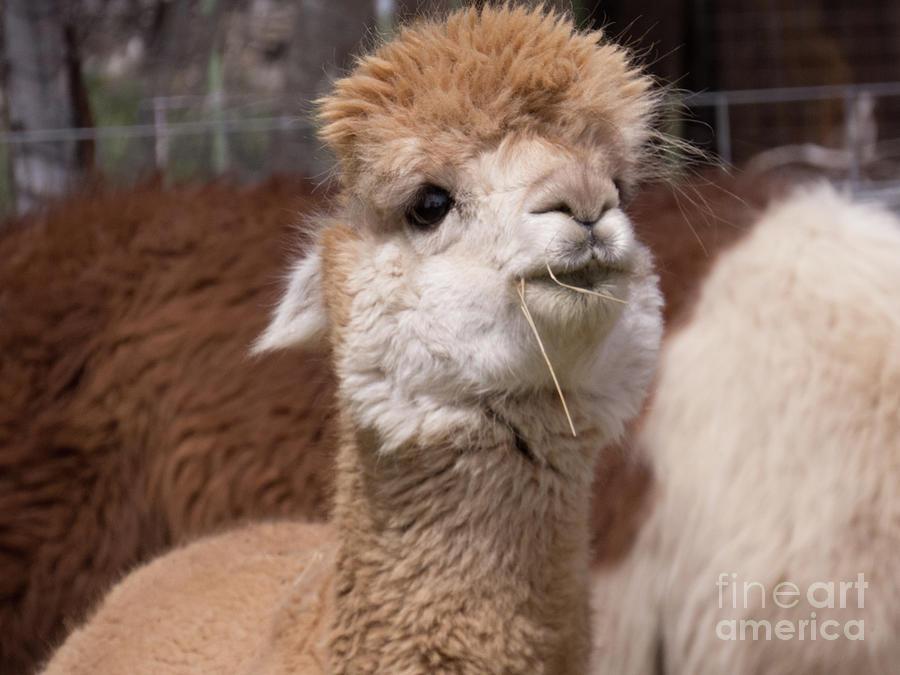 Cuddly light brown Alpaca face by Christy Garavetto