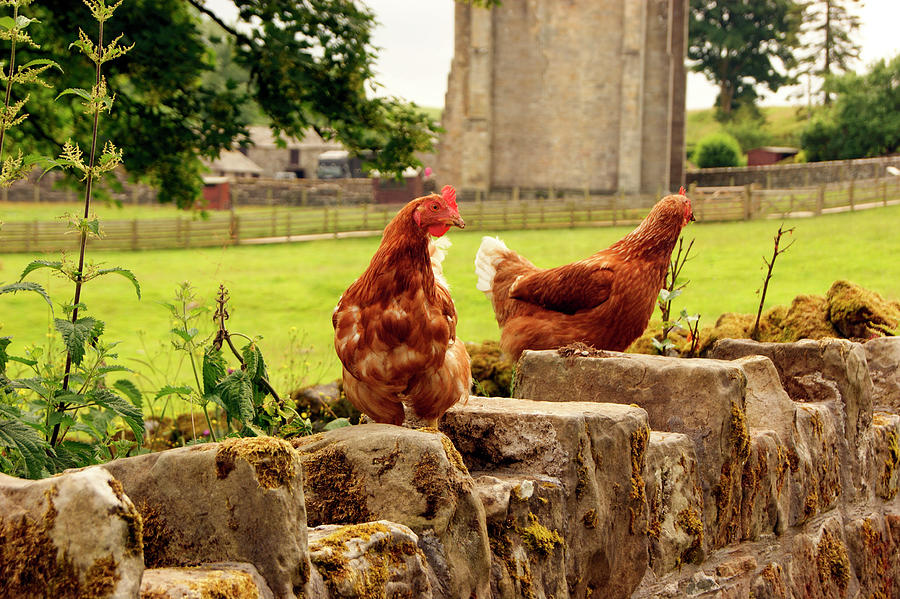 CUMBRIA,  Shap Abbey, Two Chickens. by Lachlan Main