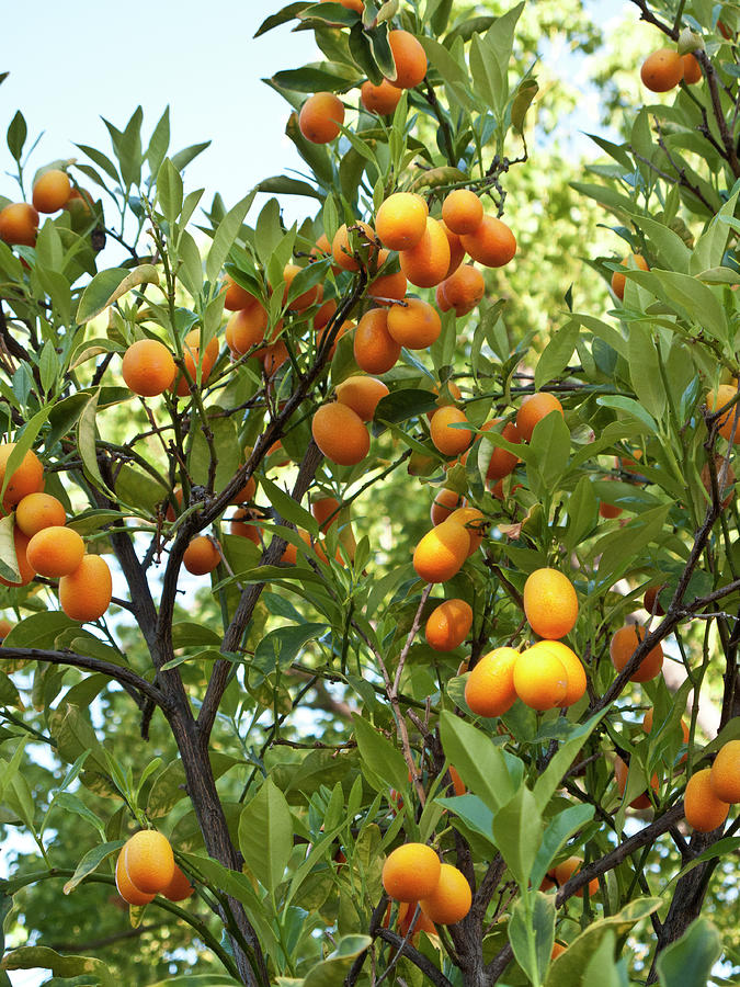Cumquats On A Tree Photograph by Bill Boch