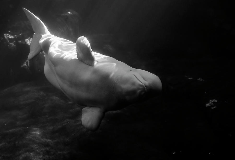 Curious Beluga by Anthony Jones