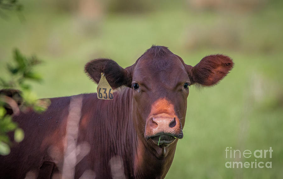 Curious Cow #636 by Tom Claud