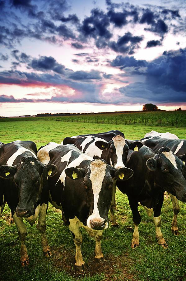 Curious Cows Photograph by Knape