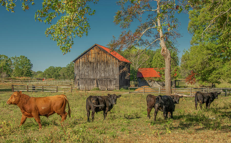 Curious Cows of Clarksville by Marcy Wielfaert
