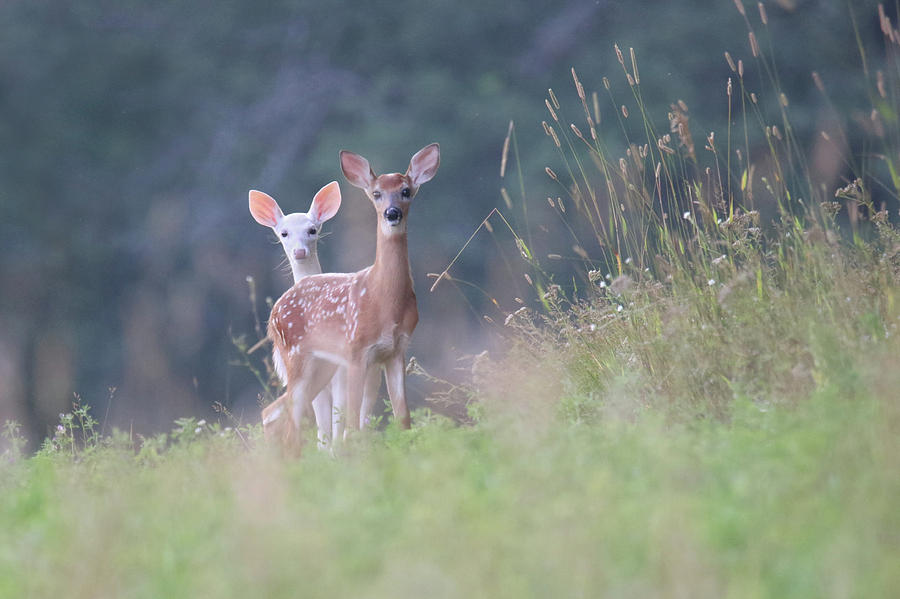Curious Fawns by Brook Burling