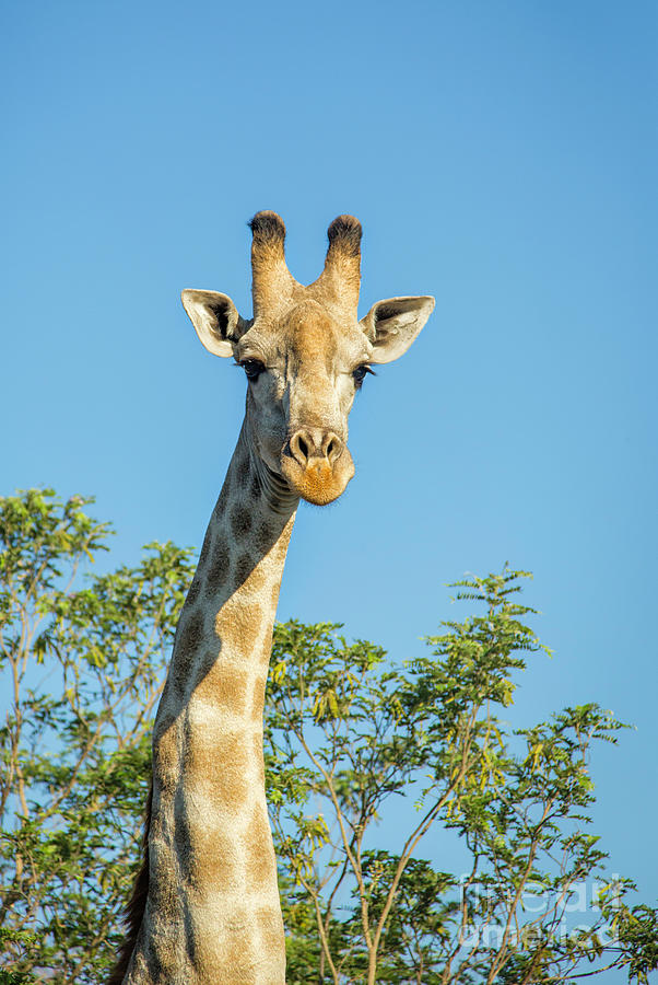 Curious Giraffe by Timothy Hacker
