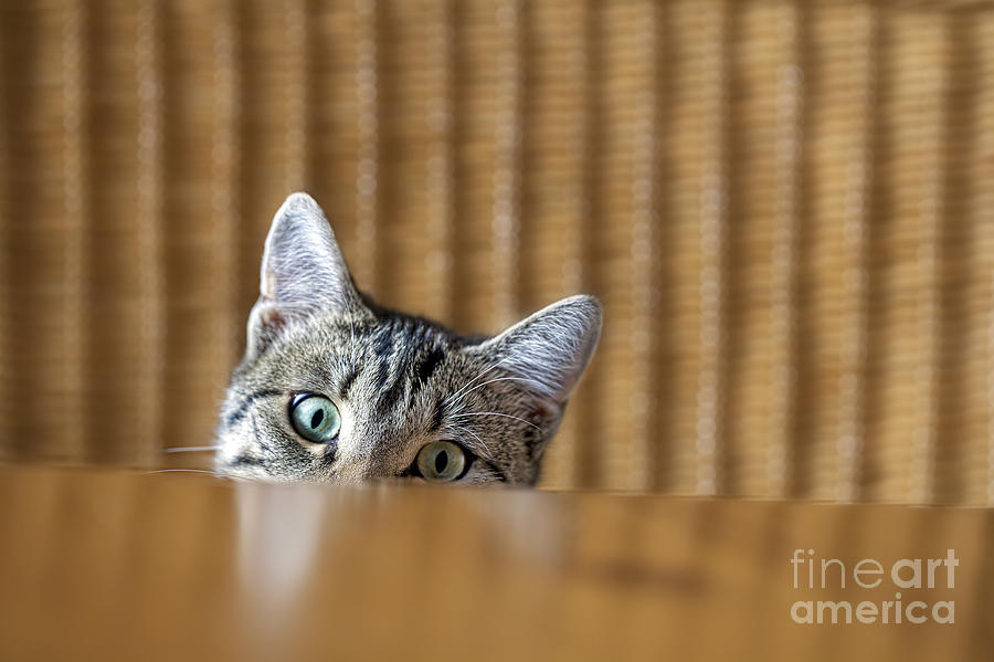 Fur Photograph - Curious Young Kitten Looking Over A by Dirk Ott