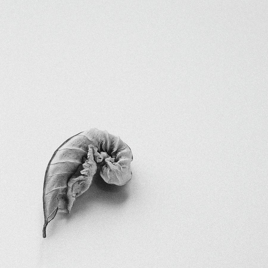 Curled Leaf - Fine Art Photograph by Sabine Konhaeuser