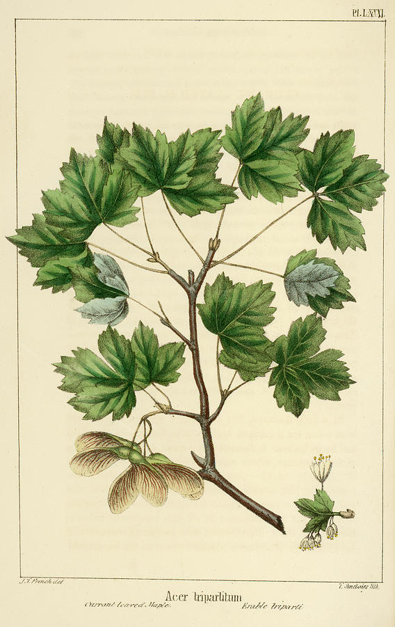 Currant Leaved Maple by unknown