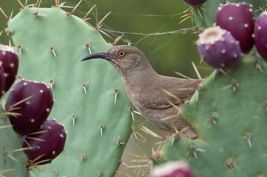 Birds Photograph - Curve-billed Thrasher, Cochise County Arizona by Doug Herr