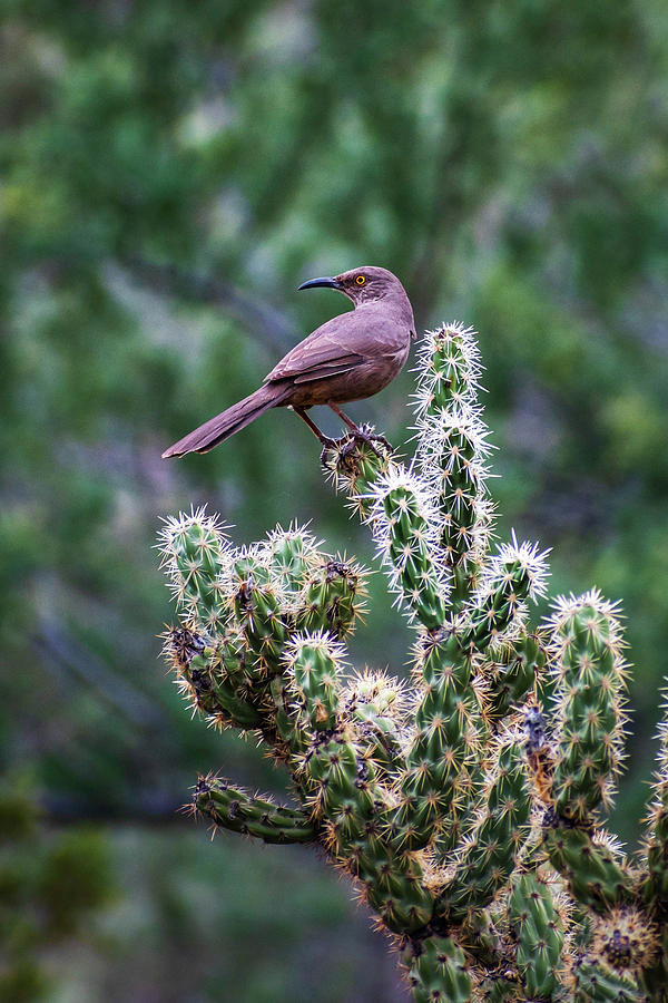 Curve-billed Thrasher on Cholla by Juliana Swenson
