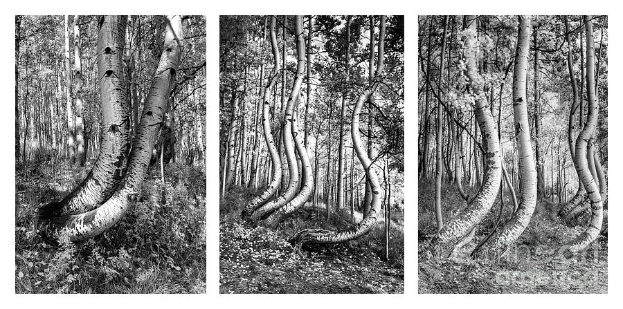 Curved Aspens Photograph