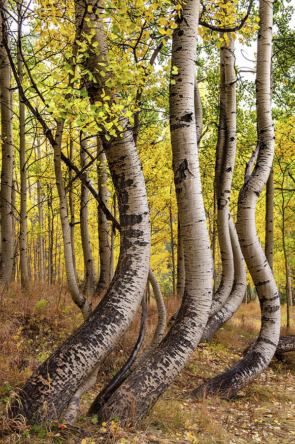 Curved Aspens by Patrick Campbell