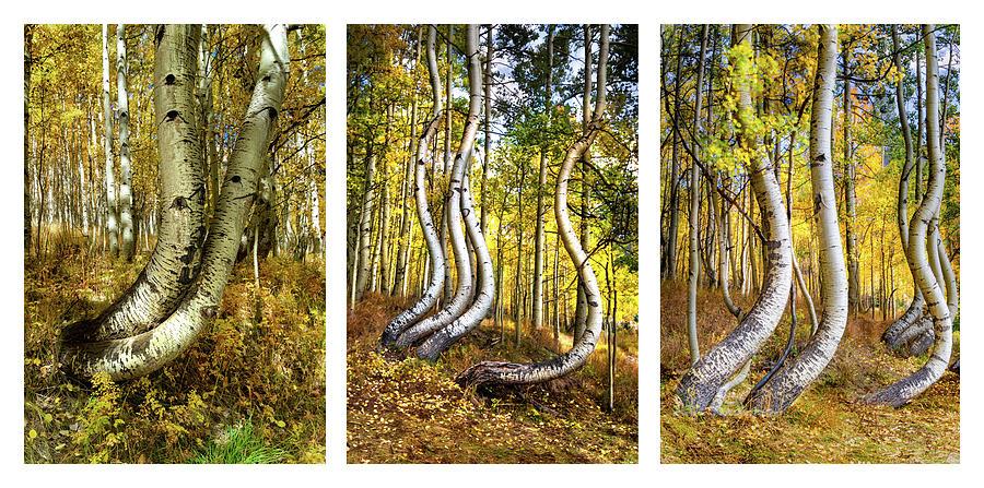 Curved Aspens Triptych by Norma Brandsberg