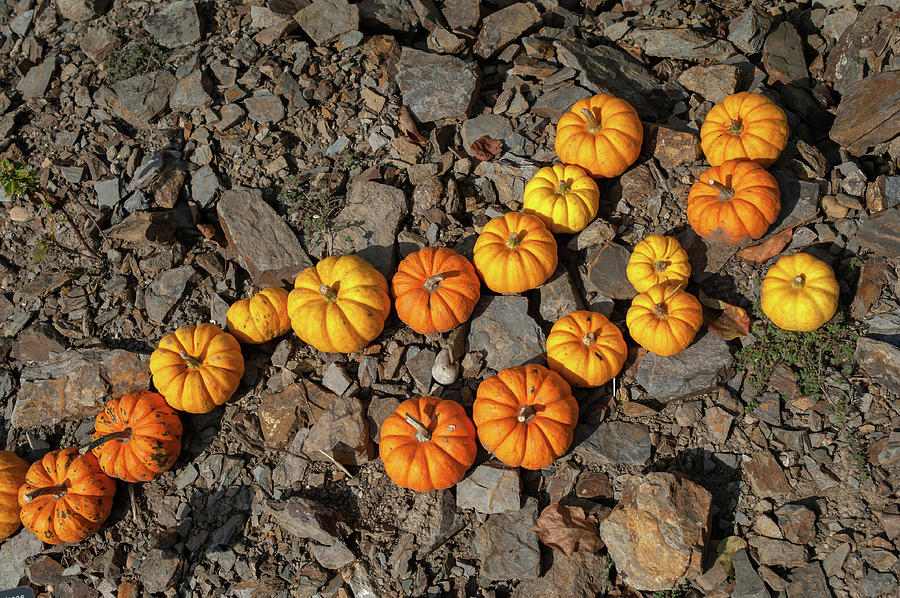 Curved Line of Yellow and Orange Pumpkins Munchkin by Jenny Rainbow