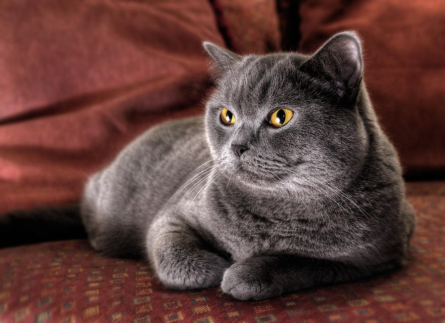 Cushy Kitty - British Blue Shorthair Cat Photograph by Nancy Branston