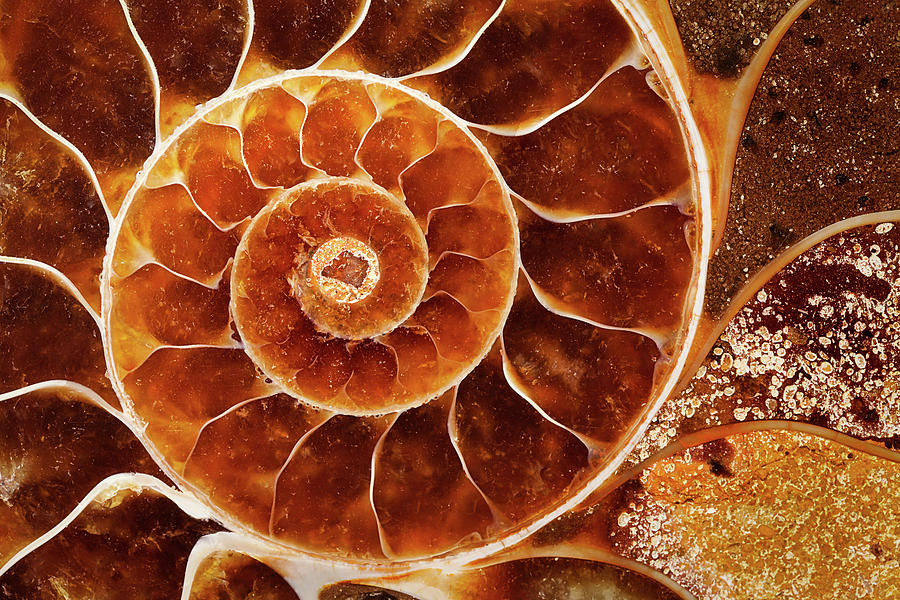 Cut Of  Fossil Nautilus Shell Photograph by Alice Cahill