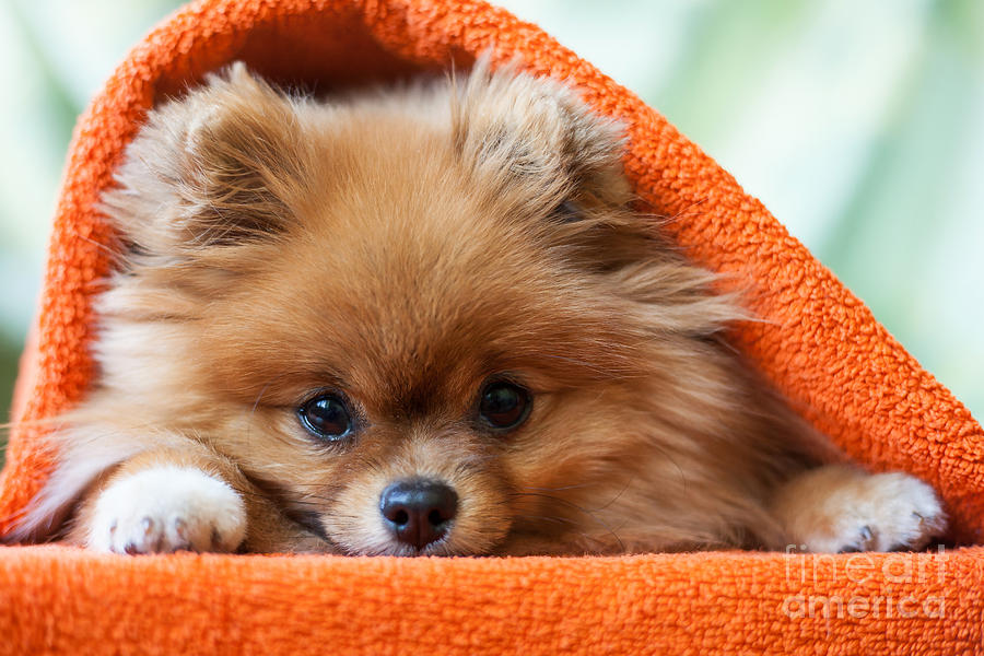 Gift Photograph - Cute And Funny Puppy Pomeranian Smiling by Barinovalena