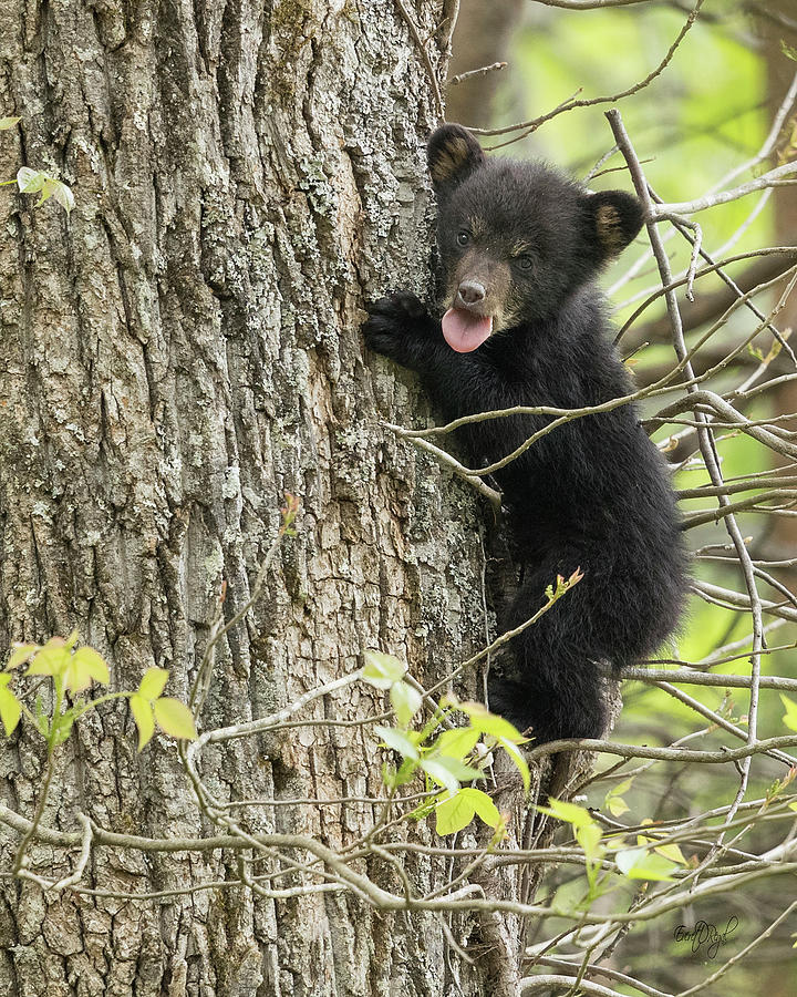 Bear Photograph - Cute And Sassy by Everet Regal