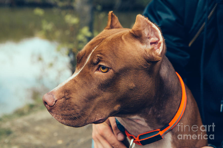 Cut Photograph - Cute Beautiful Dog Pit Bull by Irina Bg