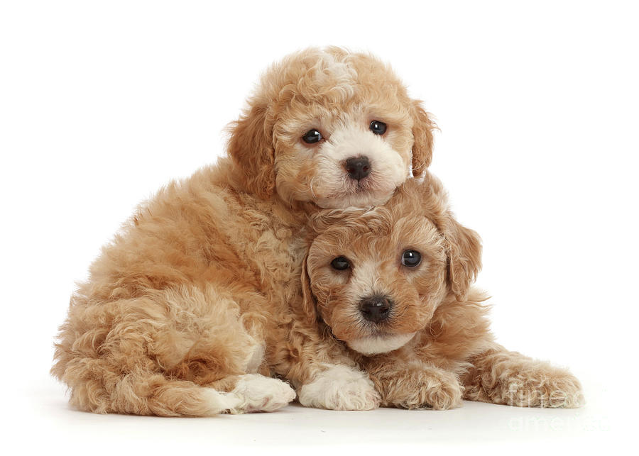 Cute Cavapoochon puppy pair by Warren Photographic