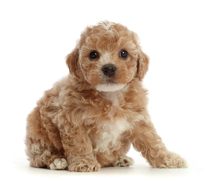 Cute Cavapoochon puppy by Warren Photographic