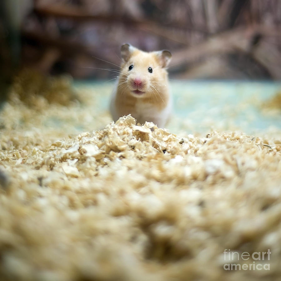 Small Photograph - Cute Hamster by Liushengfilm