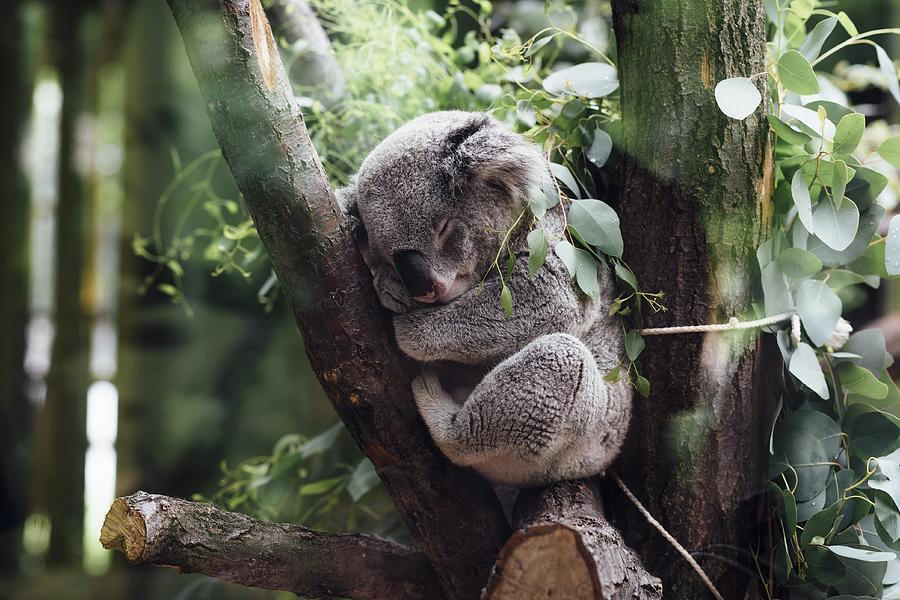 Cute Koala  by Top Wallpapers