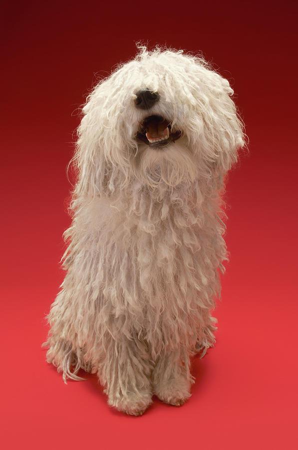 Cute Komondor Dog Photograph by Moodboard