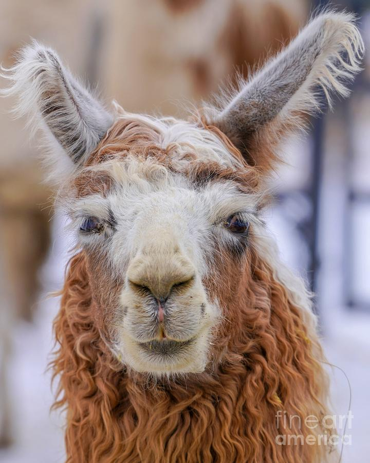 Cute Llama by Susan Rydberg