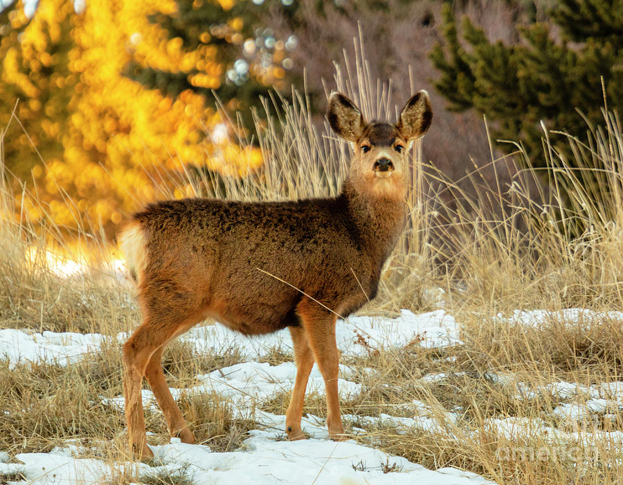 Cute Mule Deer Doe Photograph