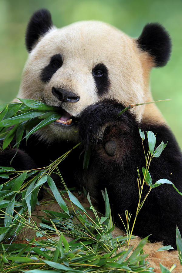 Cute Panda Photograph by Tianyuanonly