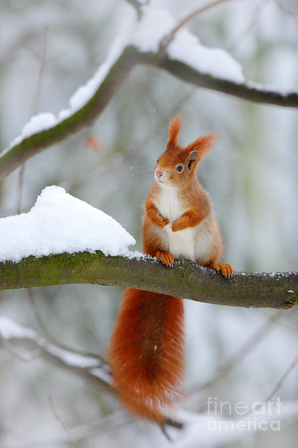 Small Photograph - Cute Red Squirrel In Winter Scene by Ondrej Prosicky