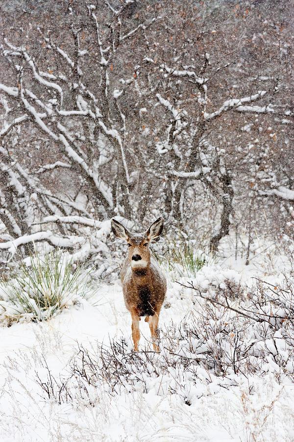 Cute Snowy Colorado Doe Photograph