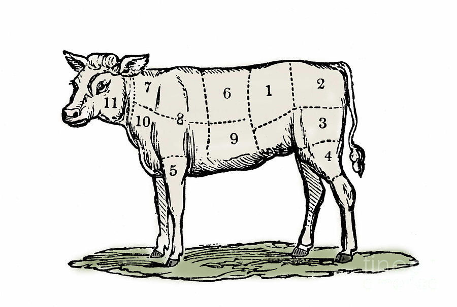 Cow Drawing - Cuts Of Veal by European School
